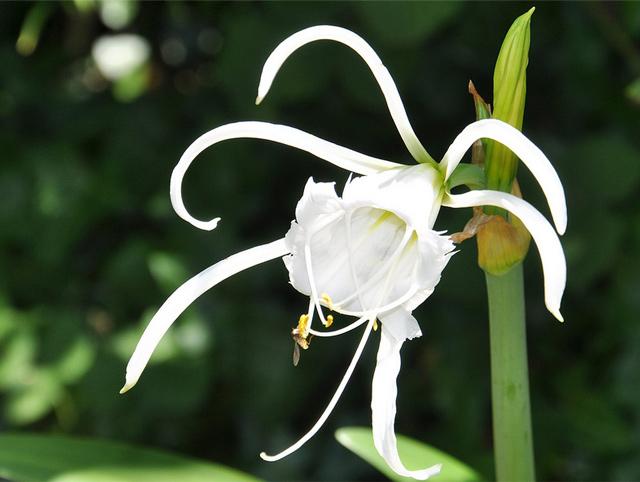 Загадочный цветок - иисмене
