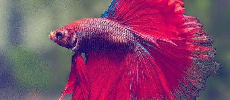 Cara Merawat Ikan Cupang Agar Sehat dan Cepat Besar