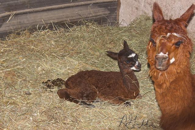 Mama and baby llama