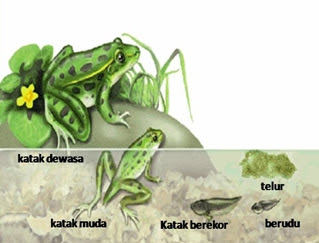 Daur Hidup Hewan Tanpa Metamorfosis dan Dengan Metamorfosis Sempurna Pengertian dan Contoh Daur Hidup Hewan Tanpa Metamorfosis dan Dengan Metamorfosis Sempurna/Tidak Sempurna