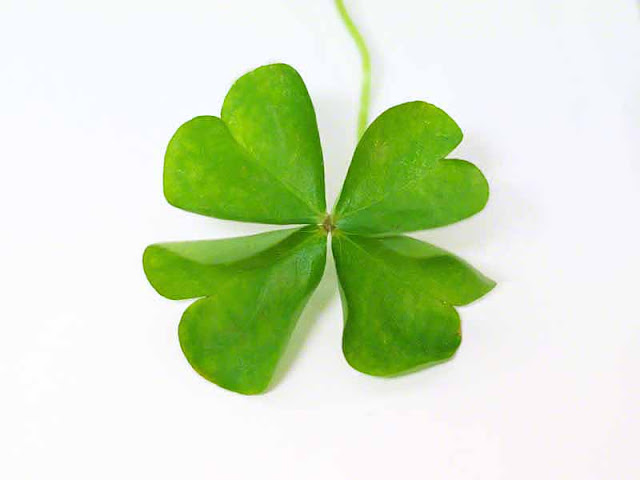 plant,clover,white background,image