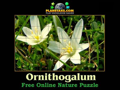 Ornithogalum Plant