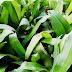 Tanam Rumput Beijing | Rumput Siti Khadijah