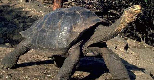 Tortuga gigante de las Galapagos