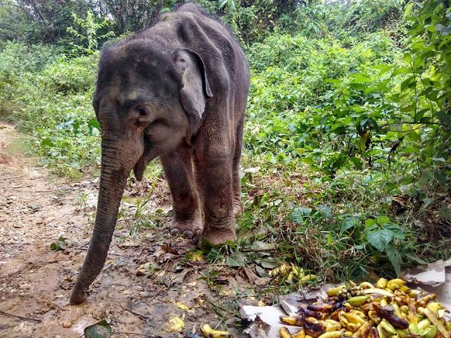 gajah sumatera,anjing republik,stop sawit