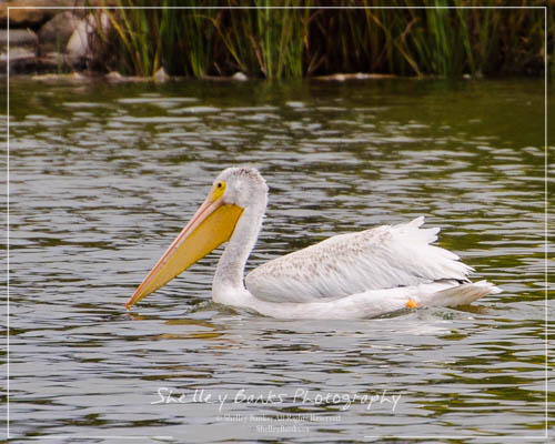 Juvenile American White Pelican, in Regina, SK.  Copyright © Shelley Banks, all rights reserved.