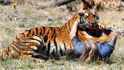 Real tiger attacks famous animal trainer, Randy Miller