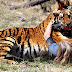 Witness a REAL tiger attack on a human! Watch what happens next!