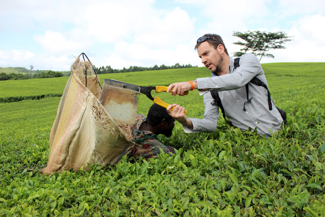 Simon Heyes helping to clip tea at Satemwa Tea Estate, Malawi