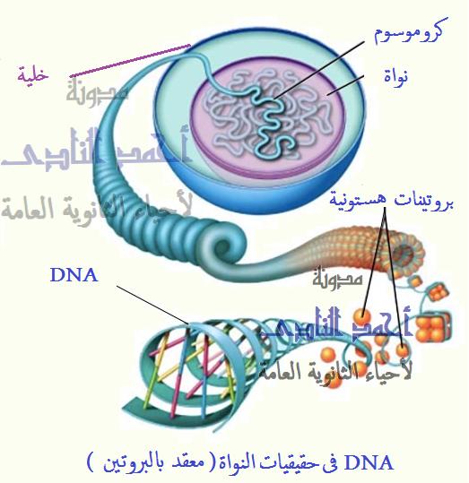 الحمض النووى الريبوزى منقوص الأكسجين dna فى حقيقيات النواة - البروتينات الهستونية وغير الهستونية