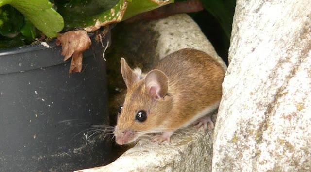 Tips Sederhana, Ampuh, Aman, Mudah, dan Murah, Bebaskan Rumah Anda dari Semut, Tikus, Kecoa Serta Kutu Busuk