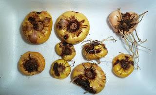 больные луковицы
