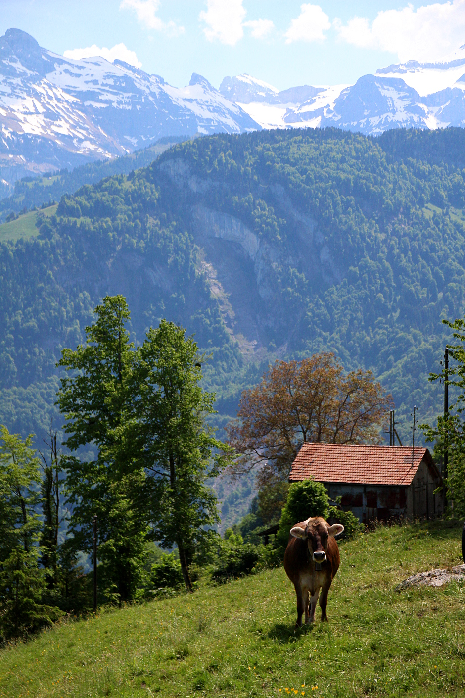 Lehmä Sveitsissä
