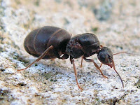 http://www.top10-facts.com/2018/03/lasius-niger-black-garden-ant.html