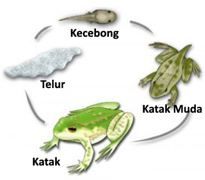 urutan perkembangan metamorfosis katak