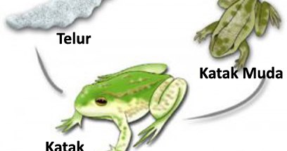 waktu metamorfosis katak