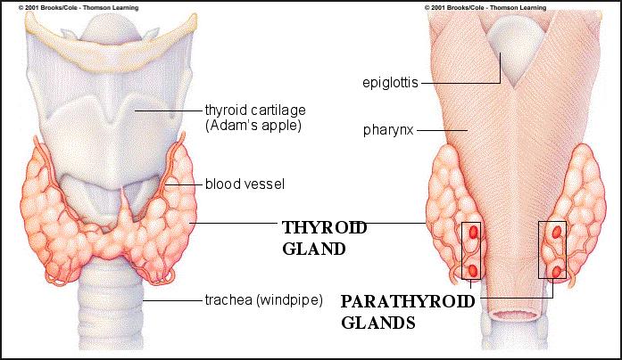 http://www.pusatmedik.org/2017/02/hipoparatiroid-definisi-penyebab-dan-pengobatan-serta-gejala-klinis-hipoparatiroid-menurut-ilmu-kedokteran.html