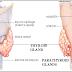 Hipoparatiroid Definisi Penyebab Dan Pengobatan Serta Gejala Klinis Hipoparatiroid Menurut Ilmu Kedokteran
