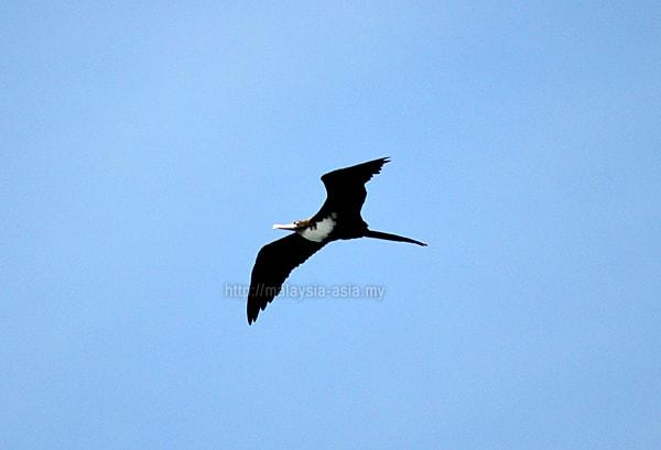 Raja Ampat Great Frigatebird