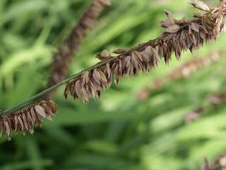 Mélique élevée - Melica altissima - Mélique de Sibérie