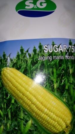 rasa manis, tahan bulai, tahan kresek,buah besar,umur genjah,benih,petani Sugar 75, SG Seed, Tahan Bulai, Syngenta,