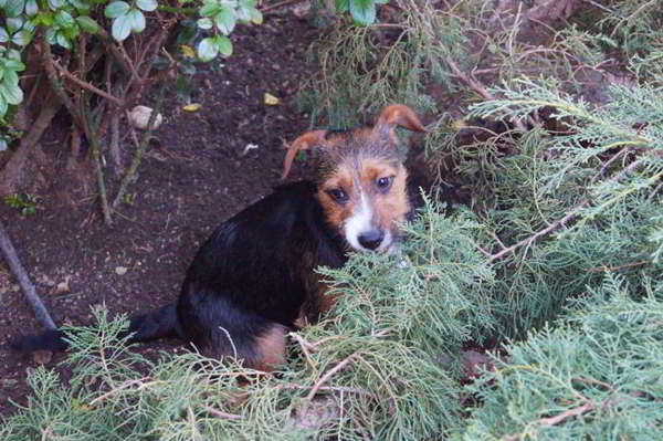 cachorra cruce terrier