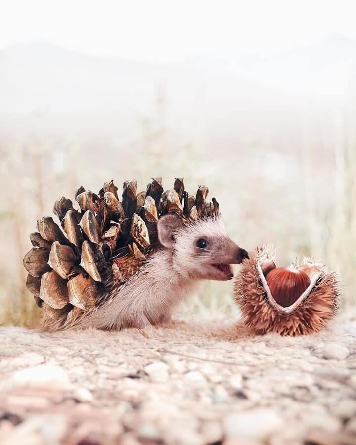 01-Hedgehog-and-Chestnut-Husk-Luisa-Azevedo-www-designstack-co