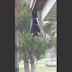 'Raposa voadora' | Conheça o maior morcego do mundo