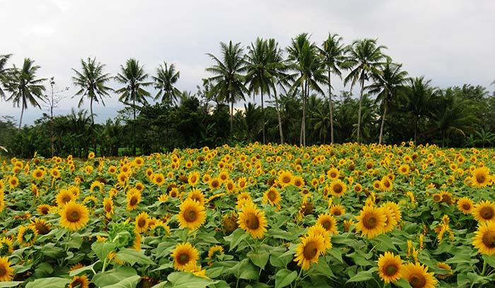 Lautan Bunga Matahari di Taman Dewari