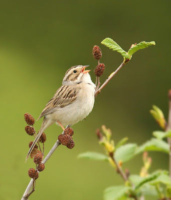 Clay-coloured Sparrow singing in Newfoundland