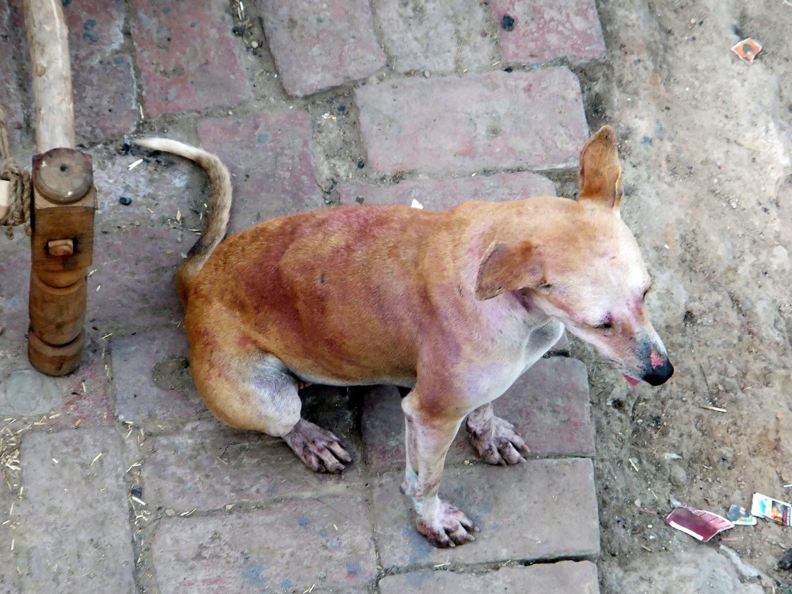 собака в следах краски после праздника холи