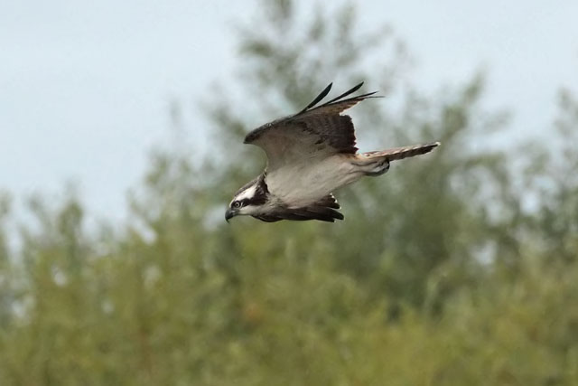 the tall birder osprey in flight