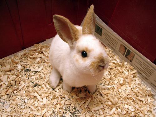 Rex Rabbit | The Life of Animals