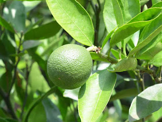 Persian Lime Fruit Pictures