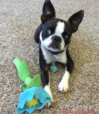 Boston terrier and dog toy