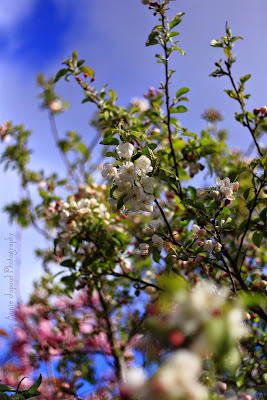 apple blossoms, blue sky