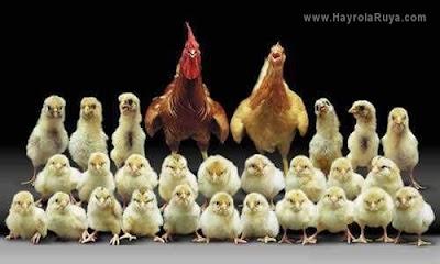 piliç-tavuk-ruyada-gormek-nedir-gorulmesi-ne-anlama-gelir-dini-ruya-tabiri-tabirleri-islami-ruya-tabiri-yorumlari-kitabi-ruya-yorumu-hayrolaruya.com