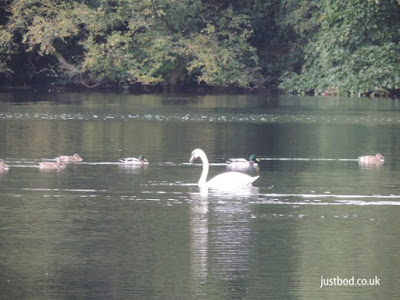 Ducks and swan Gormire Lake North Yorkshire