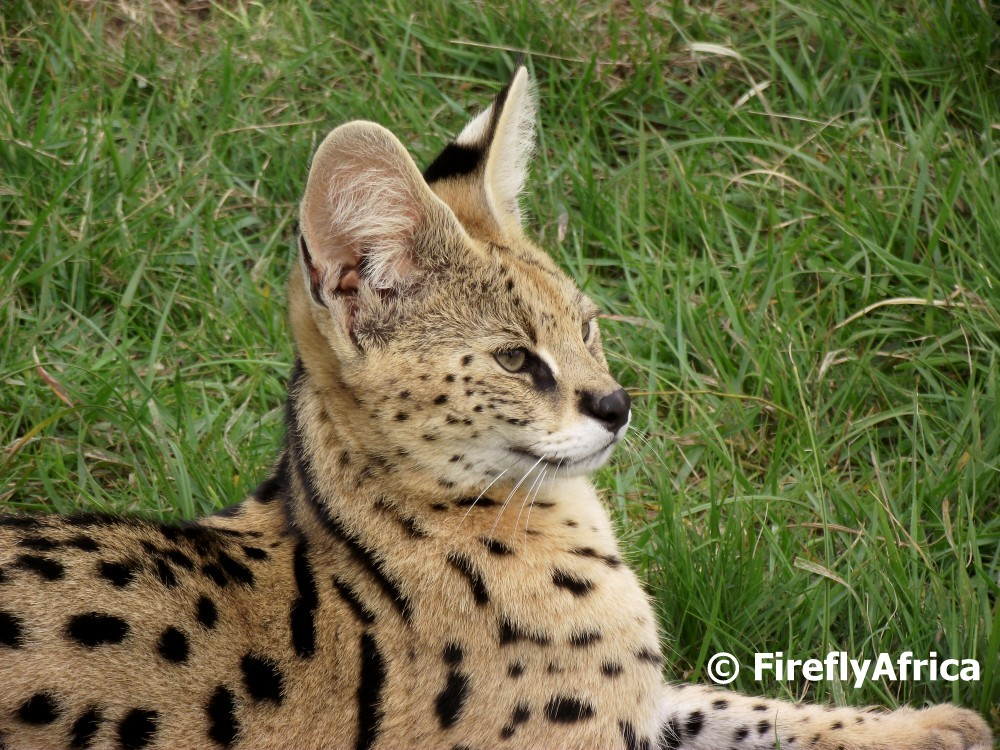 Firefly The Travel Guy: Serval Cat