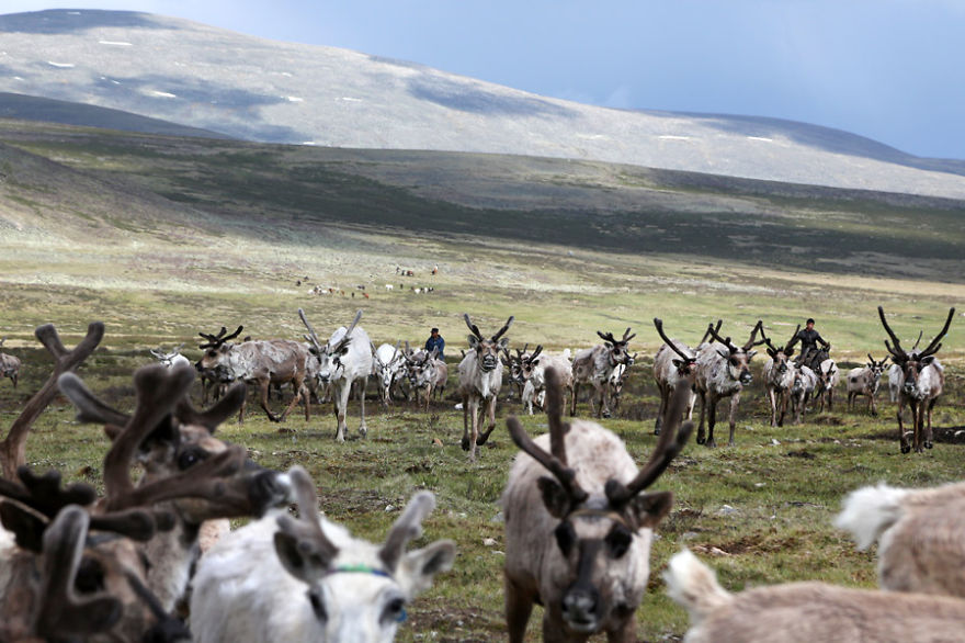 Every evening, more than 100 reindeer return to the camp after a long day walking through the Ulaan taïga to find some food - Meet The Tsaatan Nomads In Mongolia Who Live Like No One Else