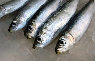 gavros-anchovy