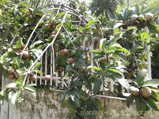 buah sawo manis