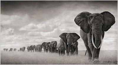 Imágenes  de elefantes: larga fila de elefantes caminando