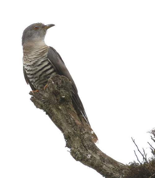 Birds of India - Photo of Lesser cuckoo - Cuculus poliocephalus