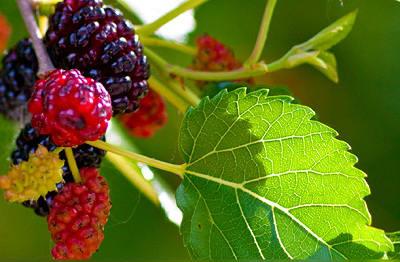 Beberapa manfaat buah murbei untuk kesehatan