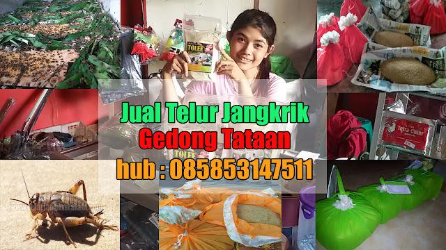 Jual Telur Jangkrik Gedong Tataan Hubungi 085853147511