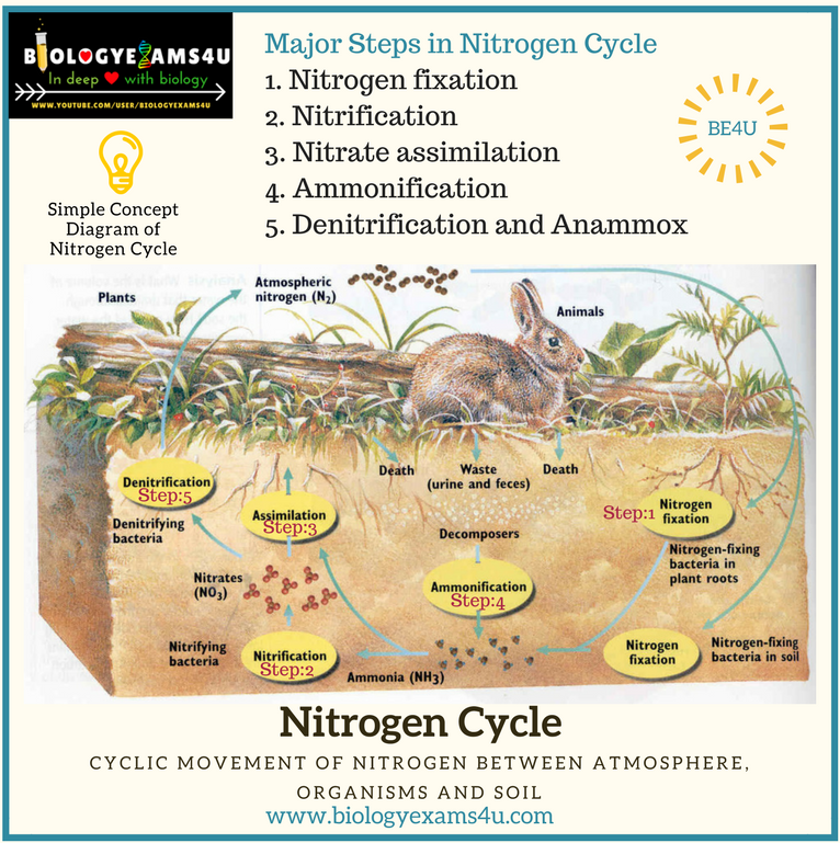 5 Steps In Nitrogen Cycle With Simple Diagram And Notes On