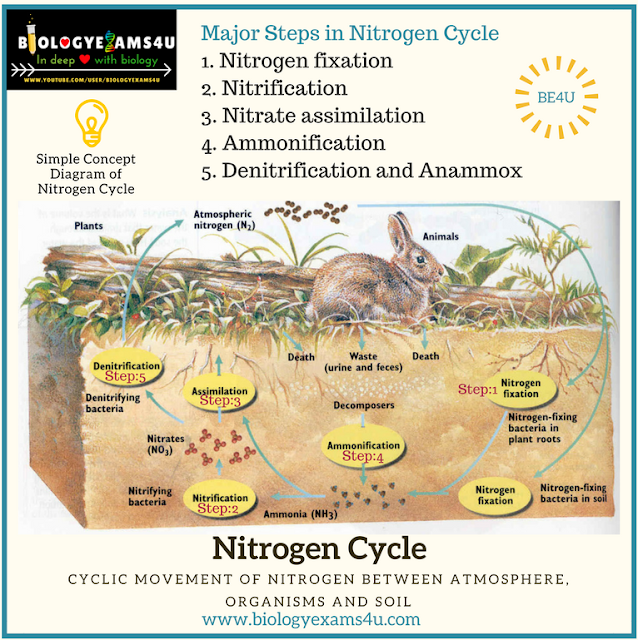 Steps in nitrogen cycle simple diagram