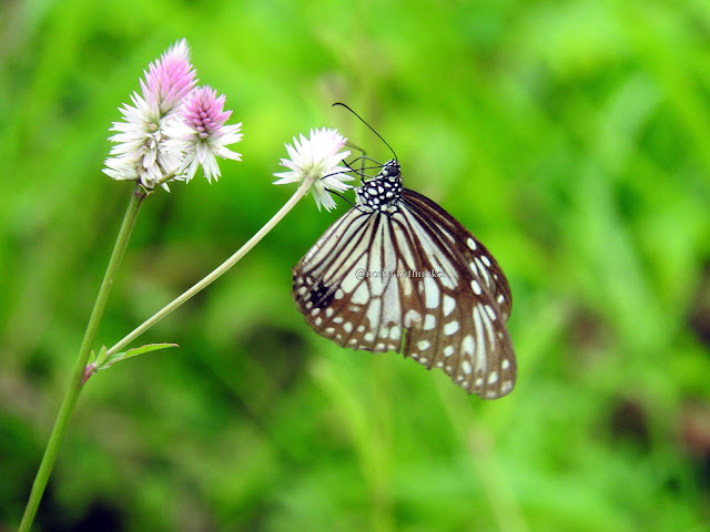Macro photography. Butterfly. Dehena. Maharashtra. India