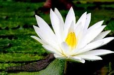 Cantiknya si Nymphaea Alba - Si Teratai Putih